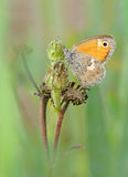 Small heath butterfly Royalty Free Stock Photo