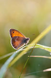 The Small Heath, butterfly in natural habitat Coenonympha pamph Stock Image