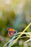 The Small Heath, butterfly in natural habitat Coenonympha pamph Royalty Free Stock Images