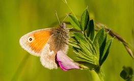 A small heath butterfly sitting on a vetch. A small heath butterfly sitting on vetch wings closed feeding royalty free stock photo
