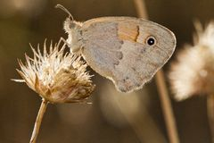 Small Heath (Coenonympha pamphilus) Royalty Free Stock Photo
