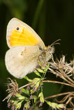 The Small Heath, Coenonympha pamphilus Royalty Free Stock Photo