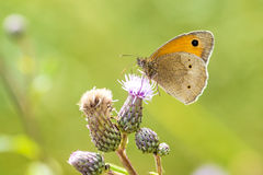 Small heath, Coenonympha pamphilus Stock Photo