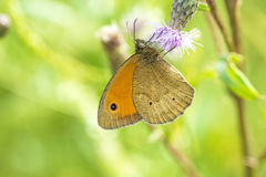 Small heath, Coenonympha pamphilus Royalty Free Stock Photo