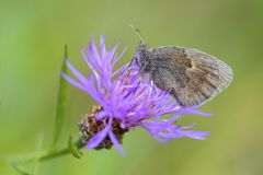 Small Heath - Coenonympha pamphilus. Beautiful brown and orange butterfly from Europe and North Africa Stock Photos