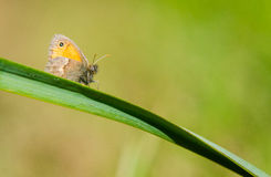 Small heath, Coenonympha pamphilus Royalty Free Stock Images