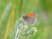 The Small Heath, Coenonympha pamphilus Royalty Free Stock Photos