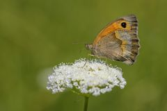 Small Heath - Coenonympha pamphilus. Small Heath butterfly - Coenonympha pamphilus, beautiful brown and orange butterfly from Europe and North Africa Royalty Free Stock Images