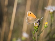 The small heath Coenonympha pamphilus butterfly sitting on a blooming flower. Beautiful small heath Coenonympha pamphilus butterfly sitting on a blooming flower stock photography