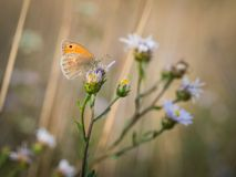 The small heath Coenonympha pamphilus butterfly sitting on a blooming flower. Beautiful small heath Coenonympha pamphilus butterfly sitting on a blooming flower stock images