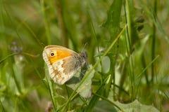 Small heath Coenonympha pamphilus Royalty Free Stock Photo