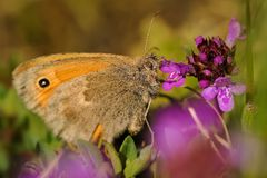 Small Heath - Coenonympha pamphilus Royalty Free Stock Photography
