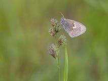 Small heath, Coenonympha pamphilus Stock Photography
