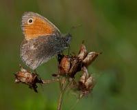 Small heath Coenonympha pamphilus Royalty Free Stock Image