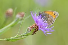 Small Heath - Coenonympha pamphilus. Beautiful brown and orange butterfly from Europe and North Africa Royalty Free Stock Images