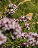 Small Heath feeding on nectar Stock Photos