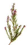 Small heather with pink flowers Stock Images