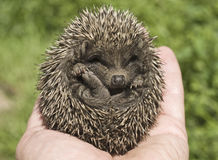Small hedgehog royalty free stock photos