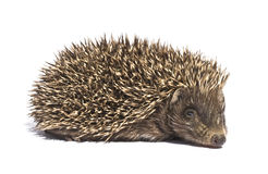 Small hedgehog royalty free stock image