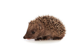 Small hedgehog Royalty Free Stock Images