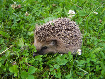 Small hedgehog. Small brown hedgehog in a bright white clover Royalty Free Stock Photo