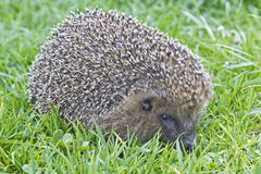 Small hedgehog Stock Photos