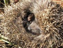 Free Small Hedgehog Royalty Free Stock Photos - 47357128