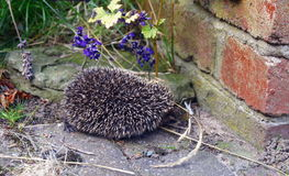 Small Hedgehog. A baby hedgehog searching for food in the garden stock images