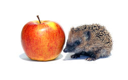 Small hedgehog with a big apple Stock Photos
