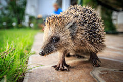 Small hedgehog. Close up shot, wide angle view Stock Photography