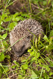 Small hedgehog creeping through a grass Stock Photo
