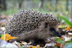 Small hedgehog, cute wild animal stock photo