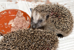Small hedgehog eats Stock Photo