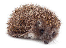 Small hedgehog Royalty Free Stock Photo