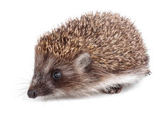 Small hedgehog Stock Images