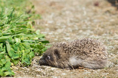 A small hedgehog in a garden with copy space. A small hedgehog in a garden near some grass with copy space Stock Photos