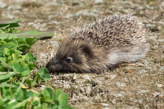 A small hedgehog in a garden. Near some grass Royalty Free Stock Photography