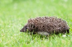 Small hedgehog in a grass Stock Photos