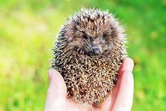 Small hedgehog in a hand Royalty Free Stock Photography