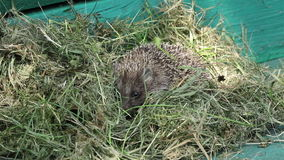 A small hedgehog in hay stock footage