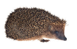Small hedgehog isolated on white Stock Photography
