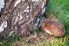 Small hedgehog near the birch log Stock Photography