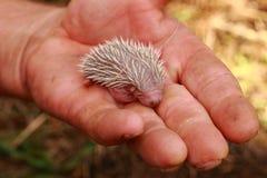 Small hedgehog (newborn) Royalty Free Stock Image