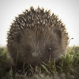 Small hedgehog says Hello There Royalty Free Stock Photo