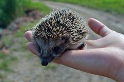 Small hedgehog Stock Image