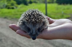 Small hedgehog Royalty Free Stock Photography