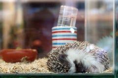 Small hedgehog is sleeping in a glass terrarium stock photo