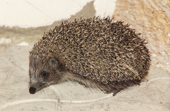 Small hedgehog on stone floor. Stock Photography