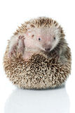 Small hedgehog tenrec Royalty Free Stock Photos