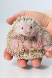 Small hedgehog tenrec Royalty Free Stock Images